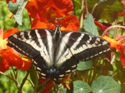 Pale Tiger Swallowtail on my Nasturtiums