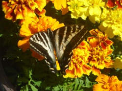 Pale Tiger Swallowtail on my Marigolds